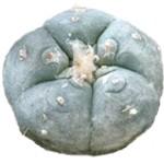 ¿Para qué sirve el peyote como planta medicinal?