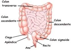 ¿En qué consiste el intestino grueso?