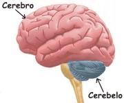 ¿Cuáles son las funciones que cumple el cerebelo humano?