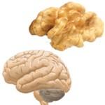 La nuez y su relación con el cerebro