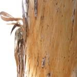 ¿Para qué sirve la corteza de eucalipto?