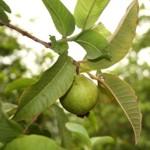 ¿Para qué sirven las hojas del árbol de guayaba?