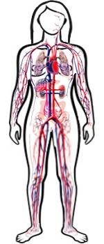 ¿Cuánto demora el recorrido de la sangre por todo el cuerpo humano?