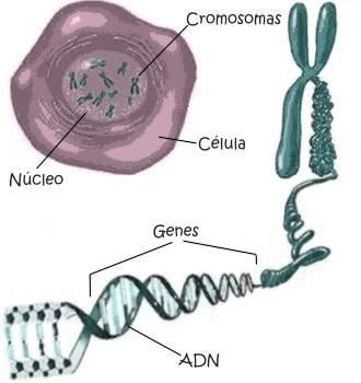 ¿En qué consiste un cromosoma?