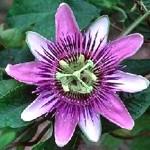 ¿Qué padecimientos cura la planta pasiflora?