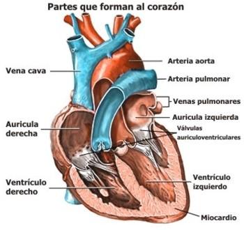 ¿Cómo se llaman las válvulas que tiene el corazón?