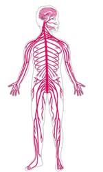 ¿Cómo se perjudica el sistema nervioso?