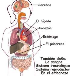 ¿Hacia dónde se dirigen los daños del alcohol en el cuerpo?