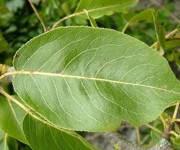 Para que se usan las hojas de los arboles