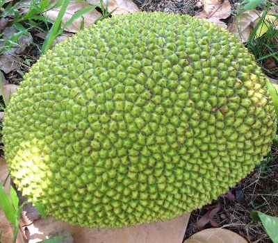 Beneficios de la fruta yaca