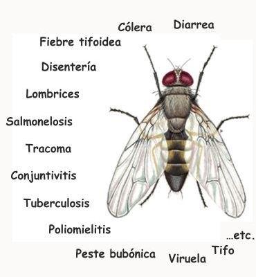 ¿Cuáles son las enfermedades que transmiten las moscas?