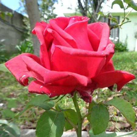 ¿Para qué sirven las hojas de rosa?